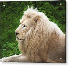 White Lion Acrylic Print by Jen Morrison