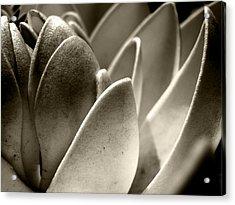 White Lotus In Dusk Acrylic Print