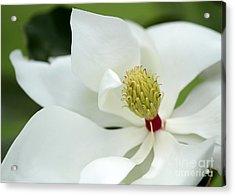 White Magnolia Acrylic Print by Sabrina L Ryan