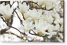 White Magnolias Acrylic Print by Becky Lodes