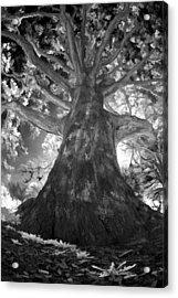 White Oak Acrylic Print