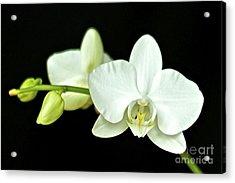 White Orchid Acrylic Print by Mihaela Limberea