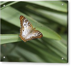 White Peacock Butterfly. Acrylic Print by Chris  Kusik