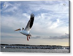 Acrylic Print featuring the photograph White Pelican Flying Over Island by Dan Friend