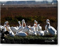 White Pelicans Acrylic Print by Wingsdomain Art and Photography
