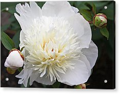 Acrylic Print featuring the photograph White Peony by Ann Murphy