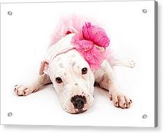 White Pit Bull Dog Wearing Pink  Acrylic Print by Susan Schmitz