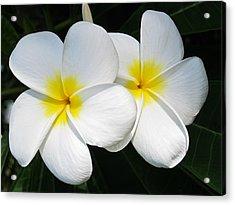 White Plumerias Acrylic Print