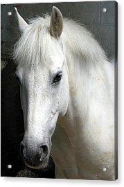 White Pony Acrylic Print by Sally Crossthwaite