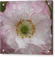 Acrylic Print featuring the photograph White Poppy With Pink Highlights by Michele Penner