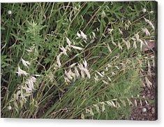 White Reeds Acrylic Print