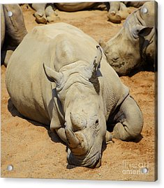White Rhino Resting In The Sun Acrylic Print by Gabriela Insuratelu
