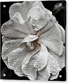 Acrylic Print featuring the photograph White Rose After Rain by Ronda Broatch