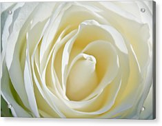 Acrylic Print featuring the photograph White Rose by Ann Murphy