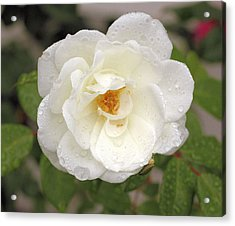 White Rose Acrylic Print by Judith Szantyr