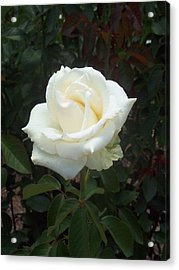 White Rose Acrylic Print by Lisa Williams