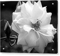 Acrylic Print featuring the photograph White Rose by Michelle Joseph-Long