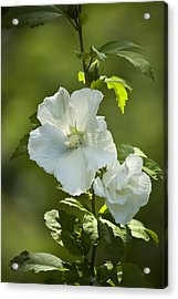 White Rose Of Sharon Acrylic Print by Teresa Mucha