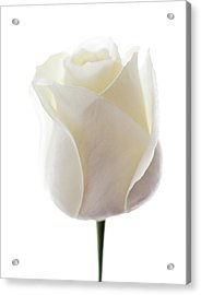 White Rose (rosa Sp.) Acrylic Print by Gavin Kingcome