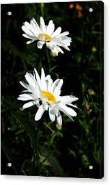 White Shasta Daisies Acrylic Print by Kay Novy