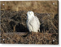 White Snowy Owl Acrylic Print by Pierre Leclerc Photography