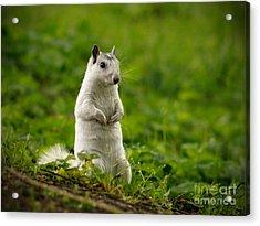 White Squirrel Acrylic Print by JK York