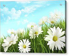 White Summer Daisies In Tall Grass Acrylic Print by Sandra Cunningham