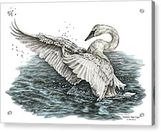 Acrylic Print featuring the drawing White Swan - Dreams Take Flight-tinted by Kelli Swan