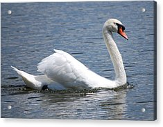 White Swan On A Lake Acrylic Print by Carrie Munoz
