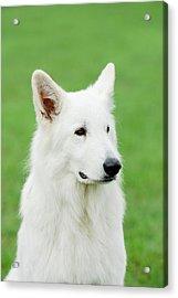 White Swiss Shepherd Dog Acrylic Print by Waldek Dabrowski