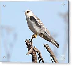 White-tailed Kite Hawk Perched . 7d11090 Acrylic Print by Wingsdomain Art and Photography