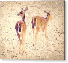 White Tails In The Snow Acrylic Print