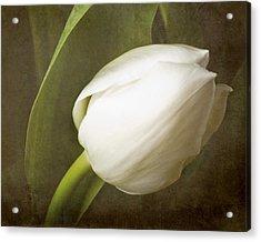 white Tulip Acrylic Print by Fiona Messenger