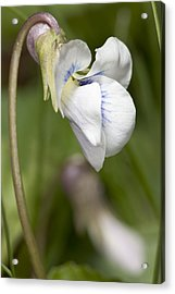 White Violet Macro Acrylic Print