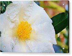 White W Yellow Center Flower Acrylic Print