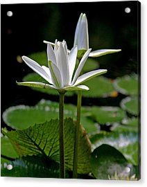 Acrylic Print featuring the photograph White Water Lily by Lisa  Spencer