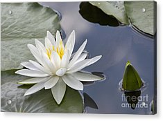 White Water Lily Acrylic Print by Vladimir Sidoropolev