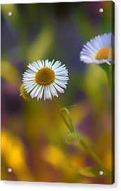 White Wildflower On Pastels Acrylic Print by Bill Tiepelman