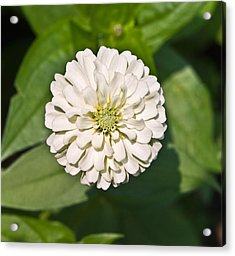 Acrylic Print featuring the photograph White Zinnia And Green Leaves by Susan Leggett