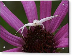 Acrylic Print featuring the photograph Whitebanded Crab Spider On Tennessee Coneflower by Daniel Reed
