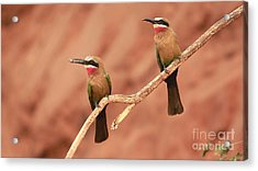 Whitefronted Bee-eaters Acrylic Print