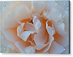 Whitest Rose Acrylic Print by Naomi Berhane