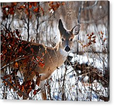 Whitetail Deer In Snow Acrylic Print