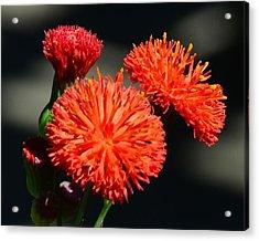 Who Flower Acrylic Print by Mark Bowmer
