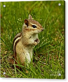 Who Goes There- Chipmunk Watch Acrylic Print