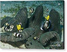 Whole Family Of Clownfish In Dark Grey Acrylic Print