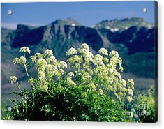 Wild Angelica Acrylic Print by James Steinberg and Photo Researchers