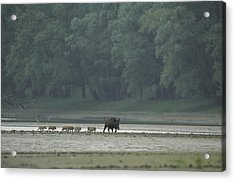 Wild Boar And Her Piglets Running Acrylic Print by Klaus Nigge