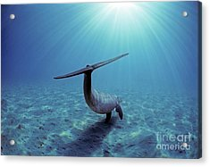 Wild Bottlenose Dolphin Acrylic Print by Jeff Rotman and Photo Researchers