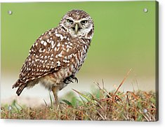 Wild Burrowing Owl Balancing On One Leg Acrylic Print by Mlorenzphotography